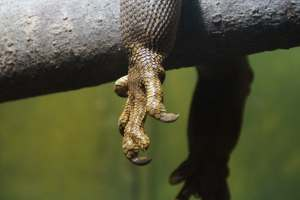 claw-dragon-iguana-reptile-65672