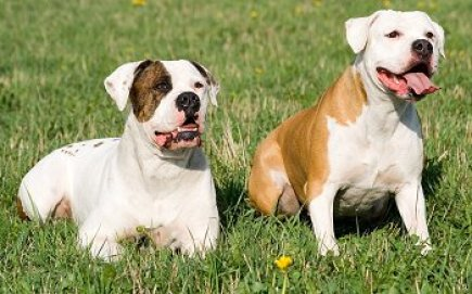 american bull dogs