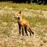 foxy on long island