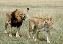Lioness - Male and Female