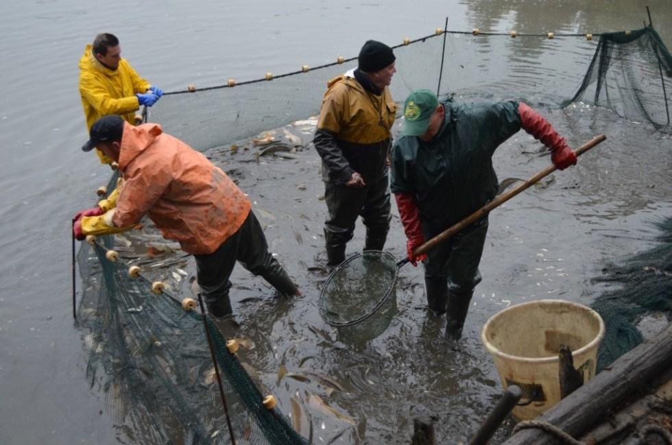 Abbildung 3: So können die Fische schonend aus dem Netz in die Behälter gekeschert werden um sie in die Hälterbecken zu setzen, bevor diese sortiert werden