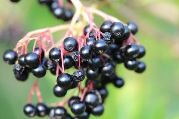 lilac-berries-486651_1280