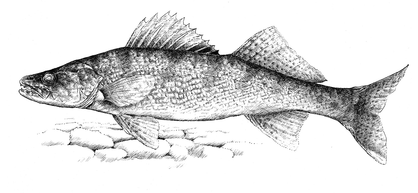Kentucky Department of Fish  Wildlife Rick Hill Sketches