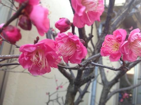 春をよぶ花(梅・沈丁花)