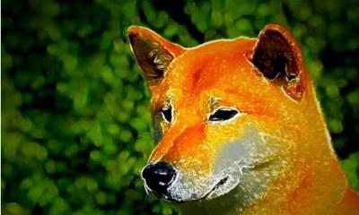 Shib or Doge