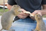 Guy feeding prairie dogs