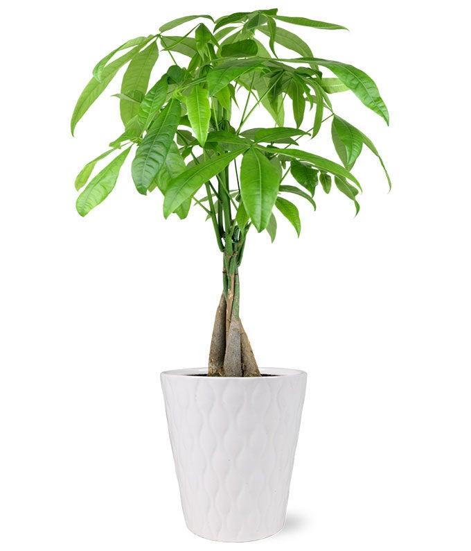 good fortune money tree