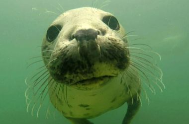 Close up of a gray seal's face.