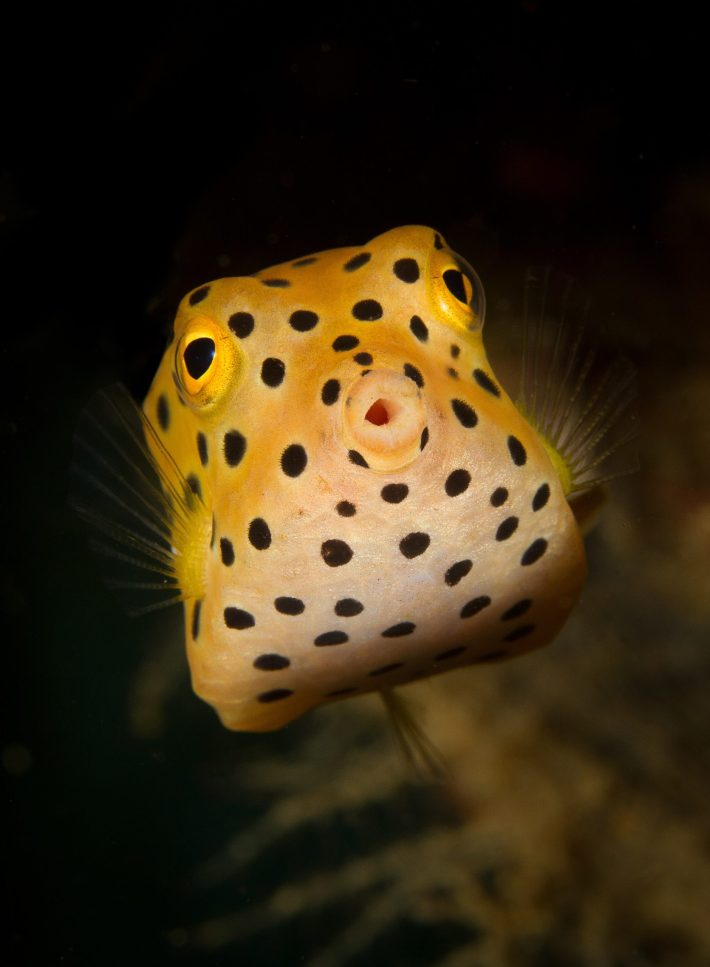 A yellow boxfish.