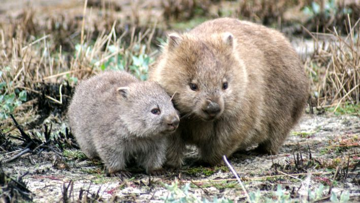 A wombat and her joey.