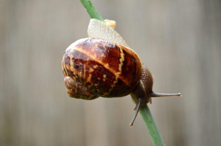 A brown snail climbing down a stem.