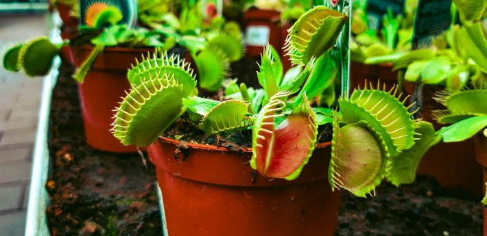 A Venus flytrap plant uses pressure build-up inside its cells to prepare itself to snap shut due to the additional pressure of a fly's footstep.