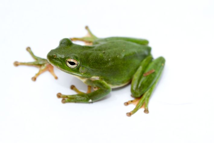An American green tree frog.