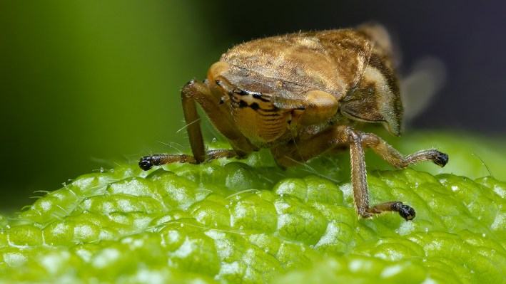 The tiny but mighty froghopper sucks sap out of plants' xylem.