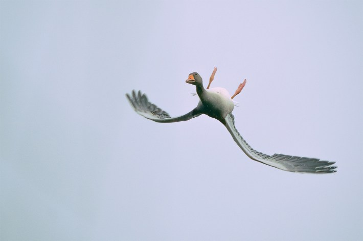 A goose flying upside down with its head turned 180 degrees, otherwise known as whiffling.
