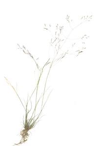 Agrostis hyemalis (Walter) Britton, Sterns & Poggenb