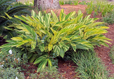 variegated shell ginger alpinia