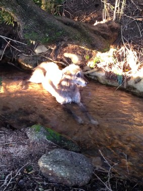 Seamus in the eerie evening light enjoying a drink while resting in the stream under the Ilex Mitis