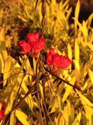 Microloma tenufolia stands out against the brilliant colour of the female Lucadendron salignum