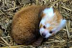 The first bred red panda cub was welcomed in the Brno Zoo