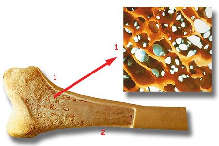 kemik, kemik iliği