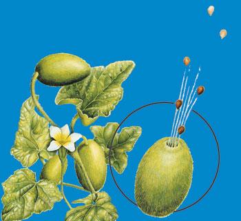 kavun bitkisi