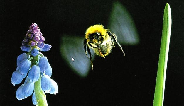 Arı kanatarı