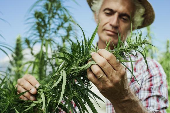 A hemp farmer pruning his crop.