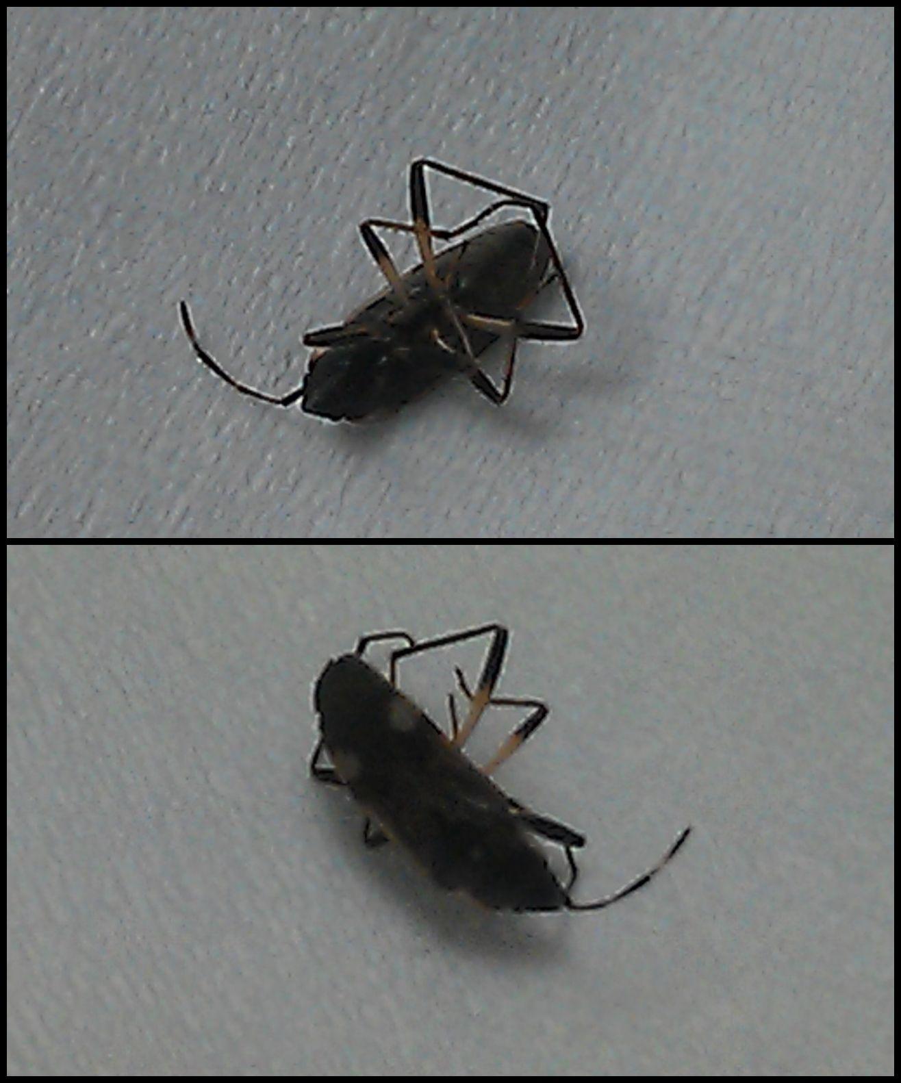 【求辨別昆蟲】黑色有翅膀會飛,一厘米左右,像螞蟻。_百度知道