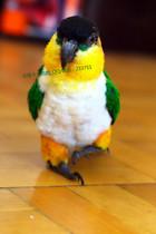 黑頭凱克鸚鵡BB 金頭凱克BB 手養鳥說話鳥說話鸚鵡 鸚鵡BB 凱克BB