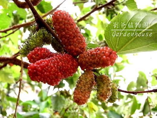 桑樹 - 開花結果 - 劉爸植物園 GardenHouse - udn部落格