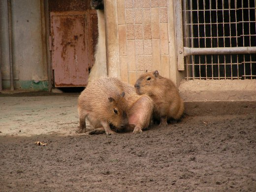 最大的鼠輩--水豚 - 小蟹沙灘-宇文正的顛倒夢想 - udn部落格