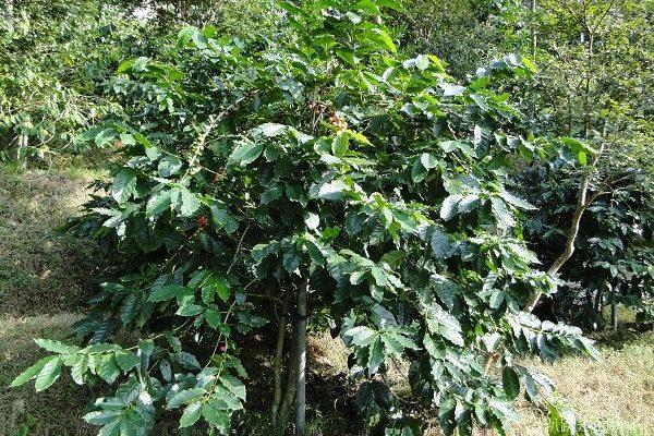 竹柏山莊》喝臺式咖啡、品嘗口味獨特的咖啡雞 - 趴趴走的竹子 - udn部落格