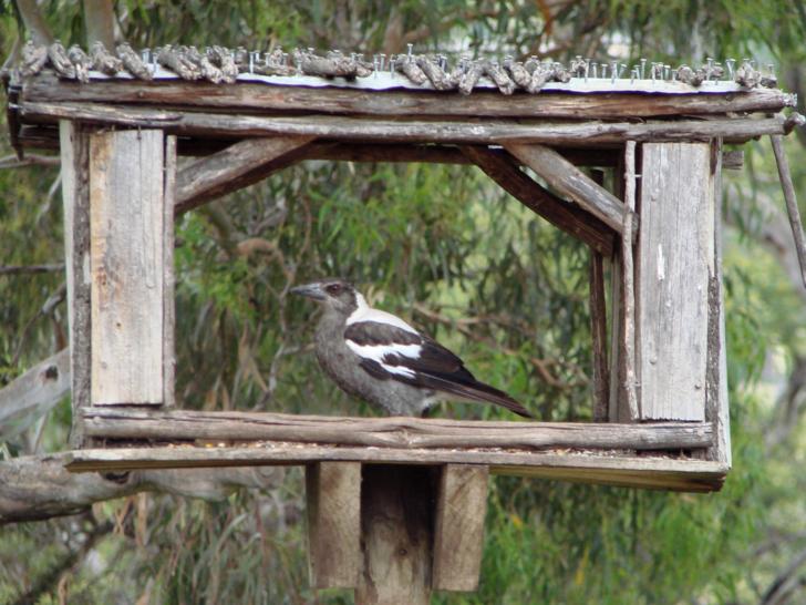 【紐澳行】塔斯馬尼亞野生動物庇護所(2)~珍禽篇 - 在水一方~Loop38 New Music樂團 - udn部落格