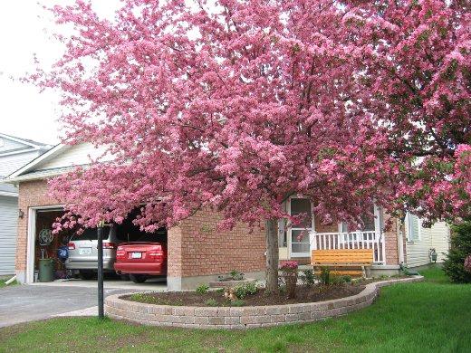一棵會開花的樹 - 毛線在渥太華 - udn部落格