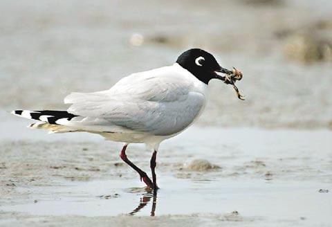 珍稀黑嘴鷗 彰化濕地首見 - Michalle的部落格 - udn部落格