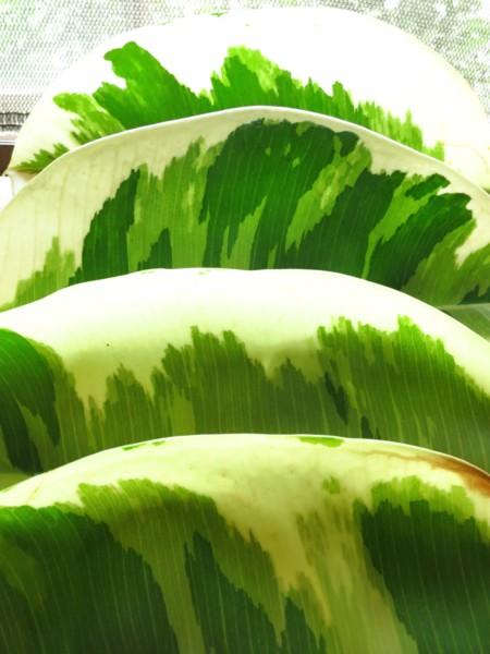 天然美麗相遇---斑葉橡樹與香水合歡 - 山畝 - udn部落格