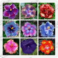 Aliexpress.com : Buy 9 Colors Dinnerplate Hibiscus ...