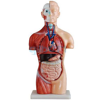 18 Teil Asexual Menschlichen Torso Anatomischen Skeleton Modell ...