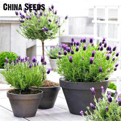 100pcs Garlic plants Red And Healthy Bonsai Diy Plant Rare Onion Garlics Vegetable  Very Easy Grow For Home & Garden