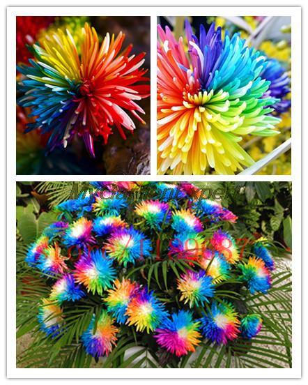 2a1f47ddd1161 ᑎ‰100 DAHLIA flower seeds send 50 purple fir seeds for gift Abies ...