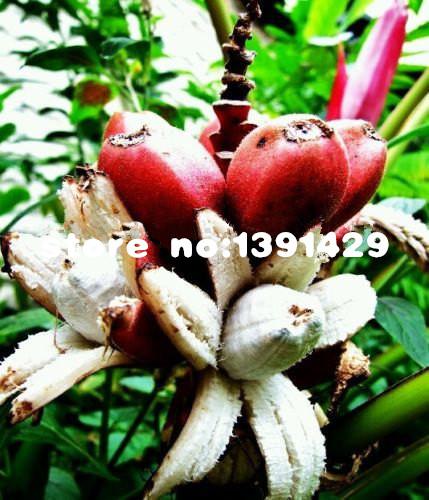 ᗜ Ljഃ100/Bag semillas de plátano raro semillas de árboles frutales ...