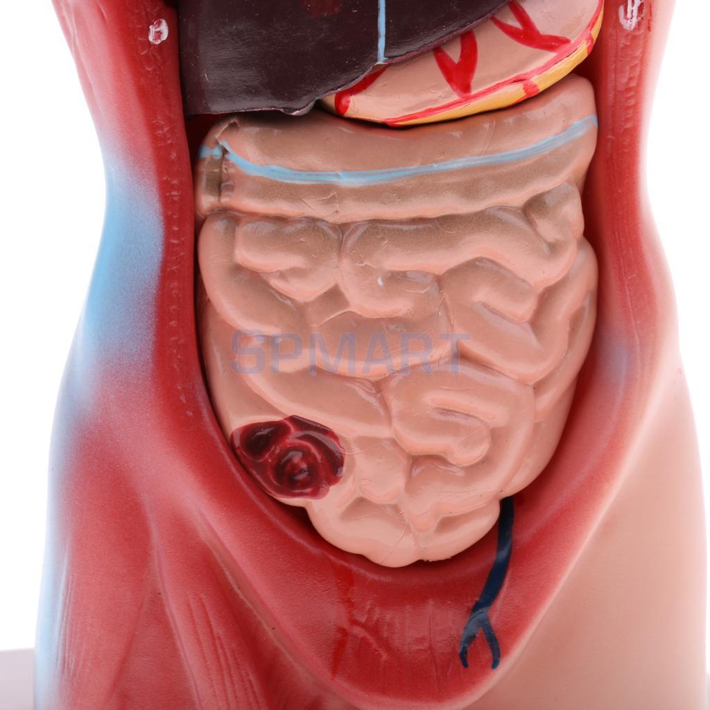 28 cm torso humano masculino del corazón vísceras cerebro esqueleto ...