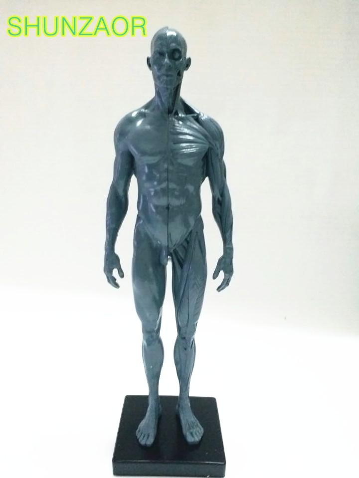 ①Modelo de la acupuntura humana 30 cm altura humano anatomía cráneo ...