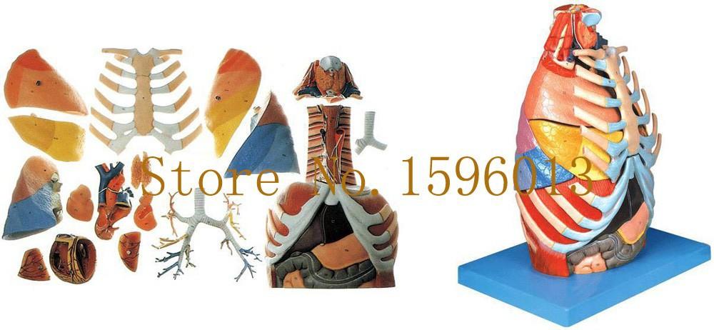ΞCavidad torácica modelo, pecho modelo anatómico, tórax anatomía - a228