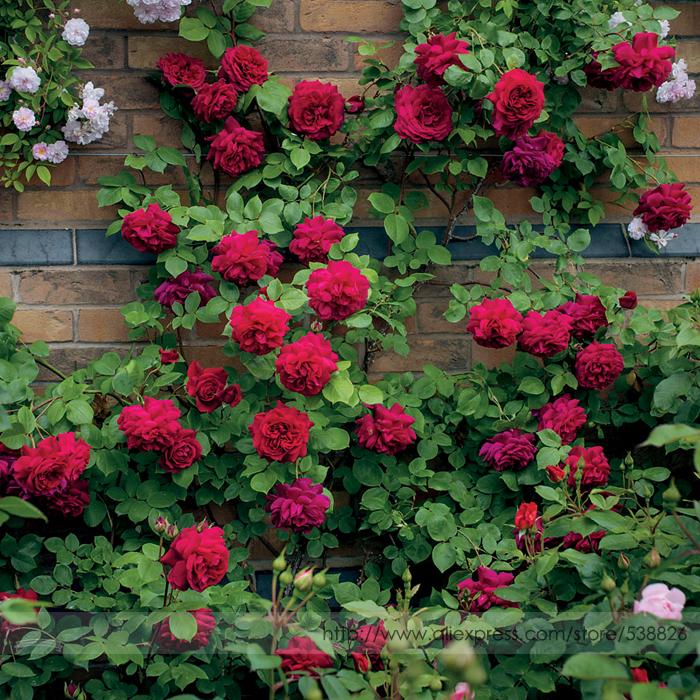 Popular Climbing Rose Plantbuy Cheap Climbing Rose Plant