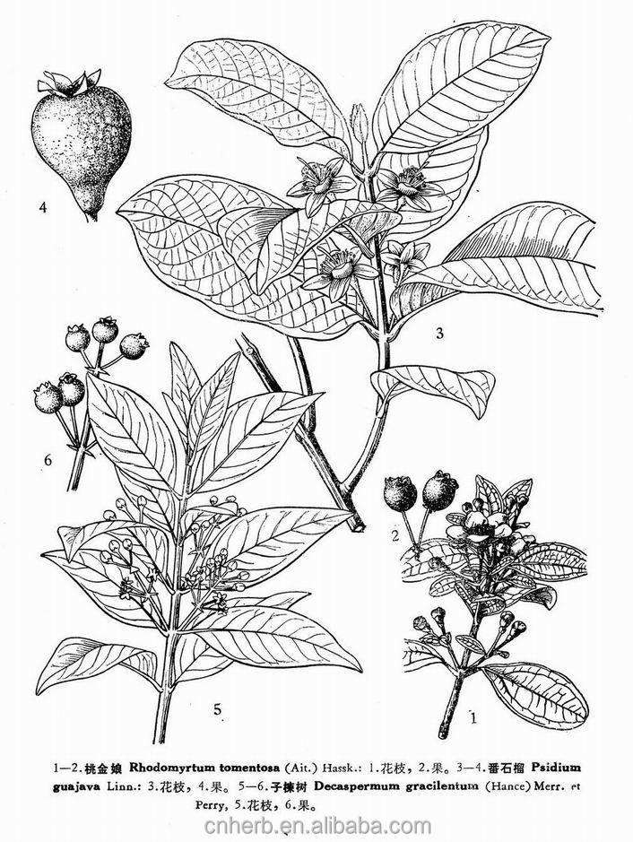 Dried Guava Leaf Guayaba Leaves Folium Psidii Guajavae Wax