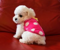 Compare Prices on Free Teacup Dogs- Online Shopping/Buy ...