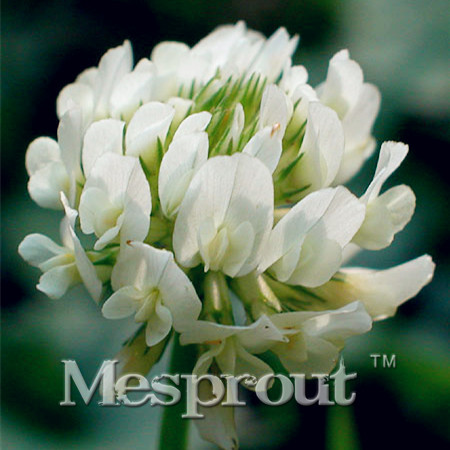 3e3775fcb64b ᐅVente chaude 500 PCS Particules Trifolium Repens Graines Maison ...
