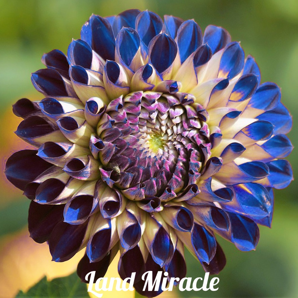 50 seeds rare blue purple fireball dahlia flower seeds perennial the dahlia flower meaning ranges from a sign of warning to even a sign of betrayal dahlia flower the dahlia flower has a varied symbolic meanings making mightylinksfo
